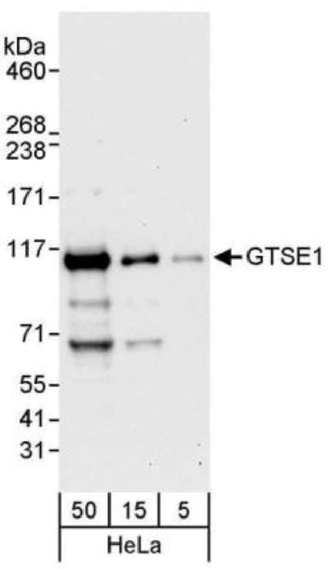 anti-GTSE1, Polyclonal, Novus Biologicals 0.1mL; Unlabeled:Life Sciences