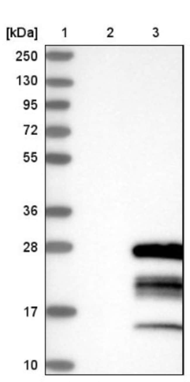 anti-GTSF1, Polyclonal, Novus Biologicals 0.1mL; Unlabeled:Life Sciences