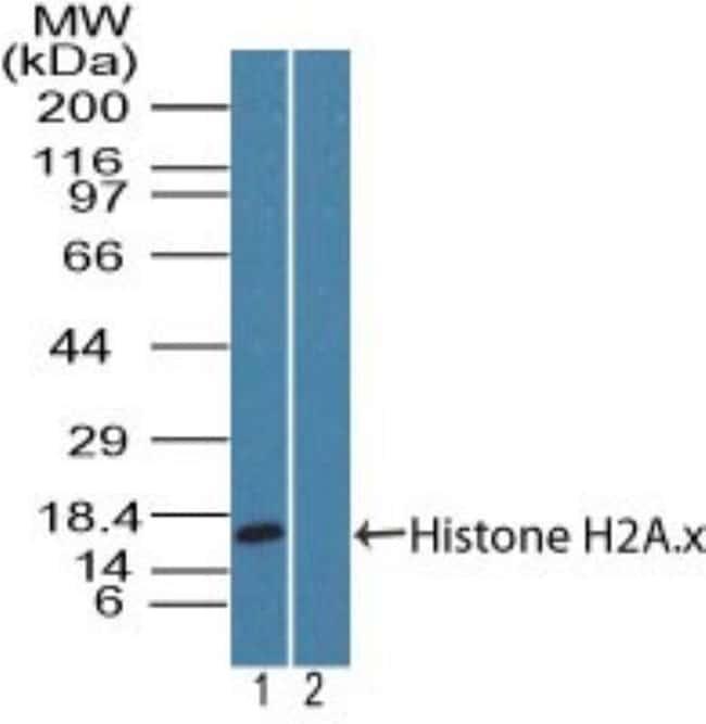 Histone H2AX Rabbit anti-Human, Primate, Polyclonal, Novus Biologicals:Antibodies:Primary