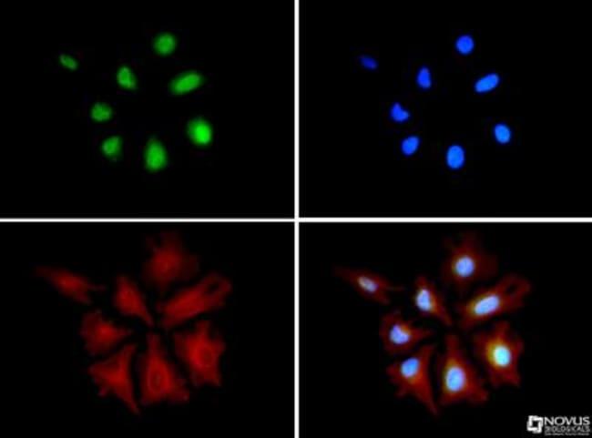 HA95/AKAP8L Mouse anti-Human, Polyclonal, Novus Biologicals:Antibodies:Primary