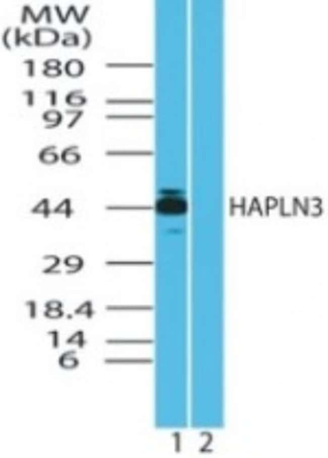 anti-HAPLN3, Polyclonal, Novus Biologicals:Antibodies:Primary Antibodies