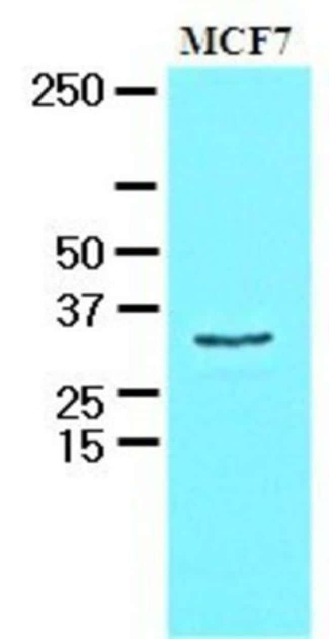 anti-HAX-1, Clone: 3C5, Novus Biologicals 0.1mL; Unlabeled:Antibodies