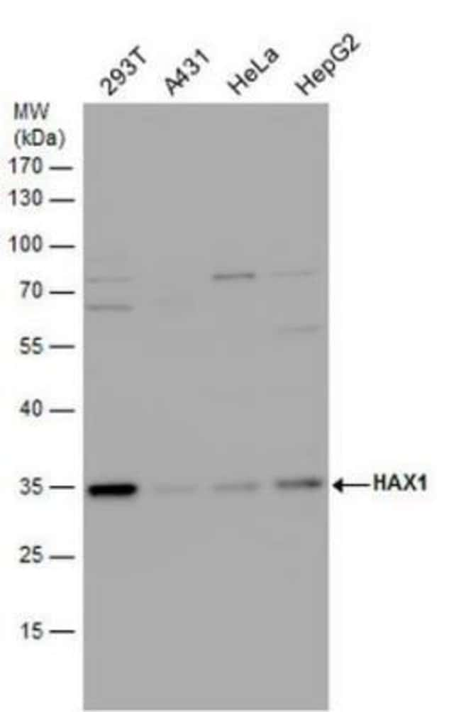 anti-HAX-1, Polyclonal, Novus Biologicals 0.1mg; Unlabeled:Life Sciences