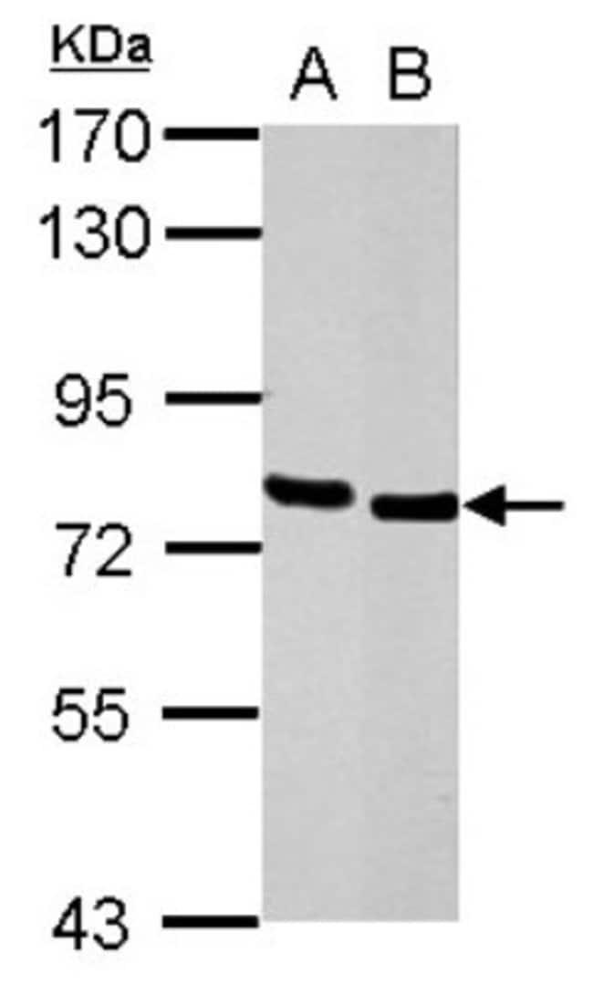 anti-HCLS1, Polyclonal, Novus Biologicals 0.1mg; Unlabeled:Life Sciences
