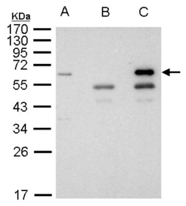 anti-HDAC1, Polyclonal, Novus Biologicals 0.1mg; Unlabeled:Antibodies