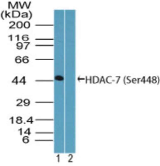 anti-HDAC7 (p Ser448), Polyclonal, Novus Biologicals:Antibodies:Primary