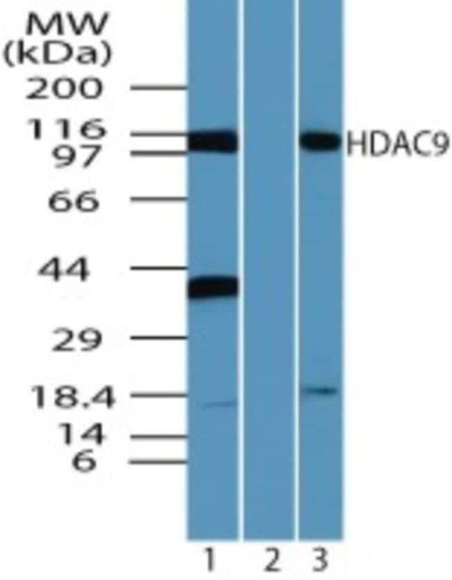 anti-HDAC9, Polyclonal, Novus Biologicals:Antibodies:Primary Antibodies
