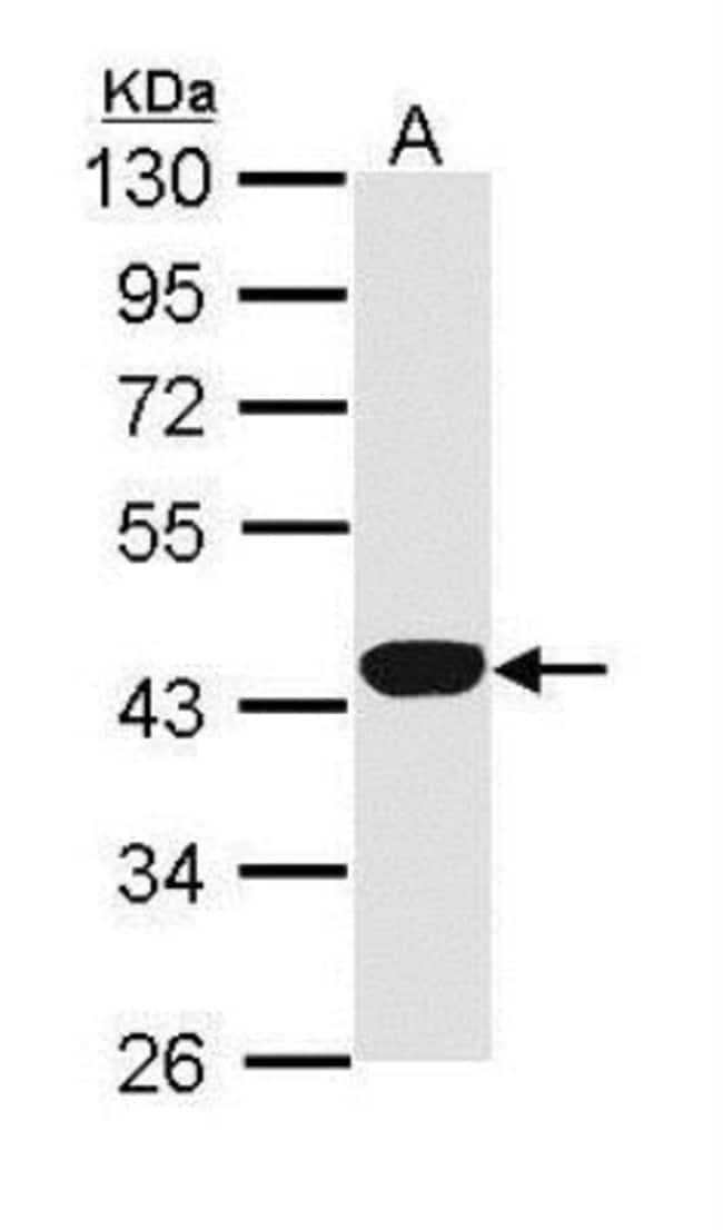 anti-Hemopexin, Polyclonal, Novus Biologicals 0.1mL; Unlabeled:Life Sciences