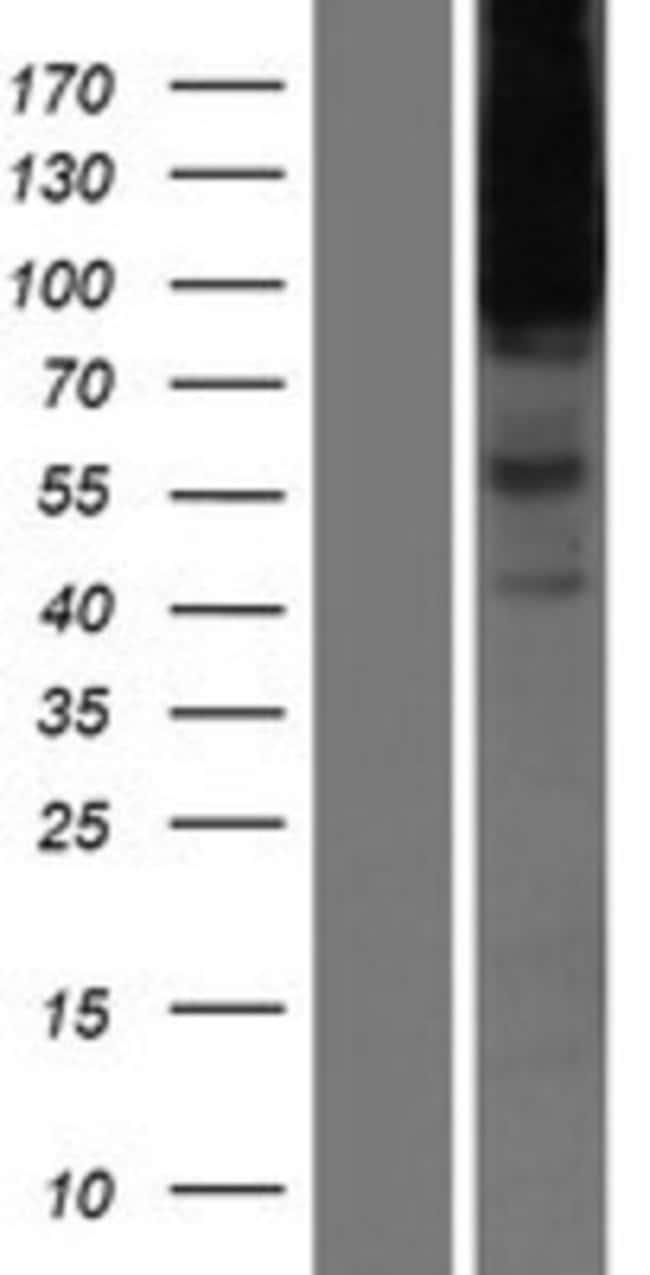 Novus BiologicalsHeparan Sulfate Proteoglycan 2 Overexpression Lysate (Native)