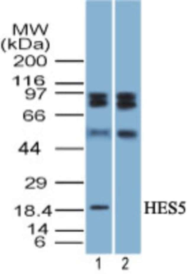 anti-HES5, Polyclonal, Novus Biologicals:Antibodies:Primary Antibodies