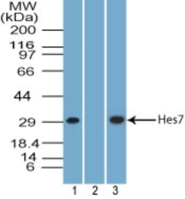 anti-HES7, Polyclonal, Novus Biologicals:Antibodies:Primary Antibodies
