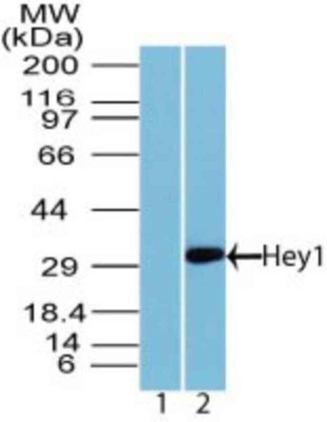 anti-HEY1, Polyclonal, Novus Biologicals:Antibodies:Primary Antibodies