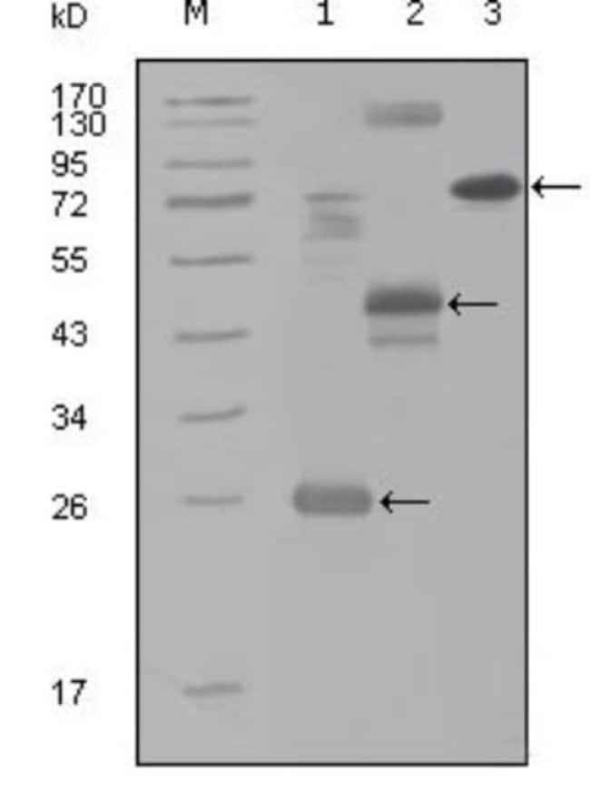 anti-HGK/MAP4K4, Clone: 3C7B5, Novus Biologicals 0.1mL; Unlabeled:Life