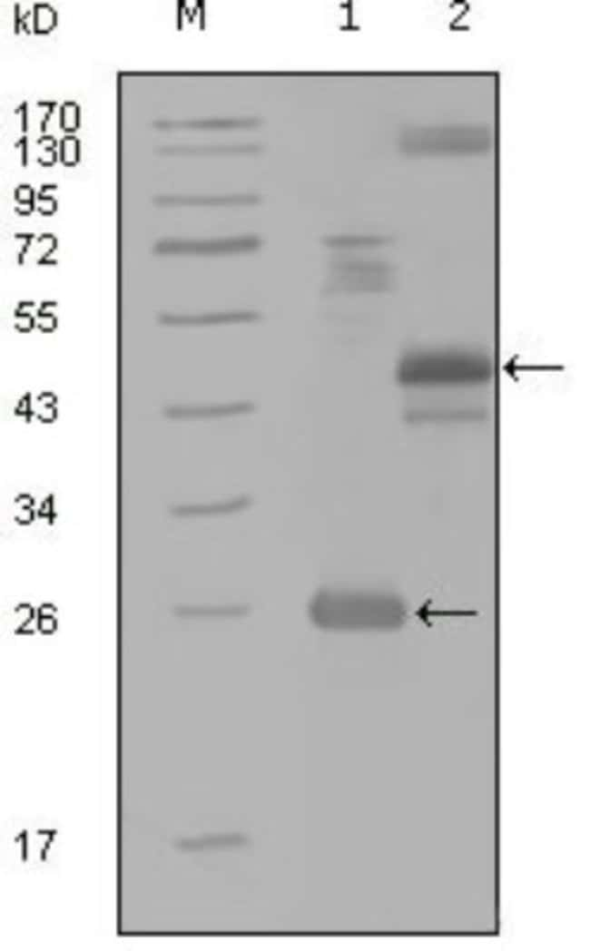 anti-HGK/MAP4K4, Clone: 4H9E7, Novus Biologicals 0.1mL; Unlabeled:Life