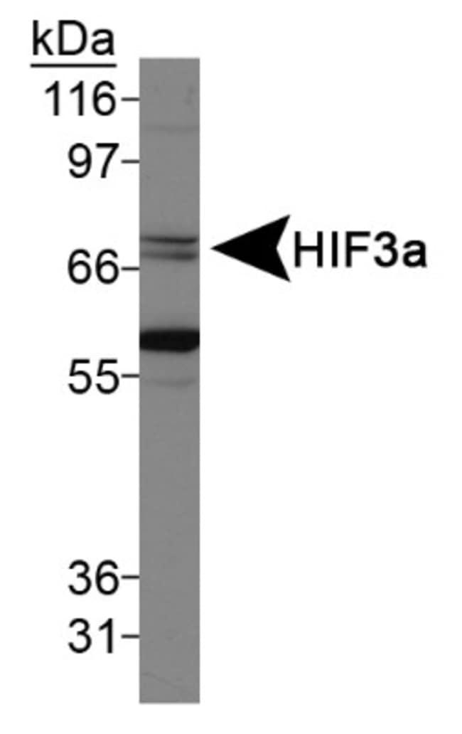 anti-HIF-3 alpha, Polyclonal, Novus Biologicals:Antibodies:Primary Antibodies