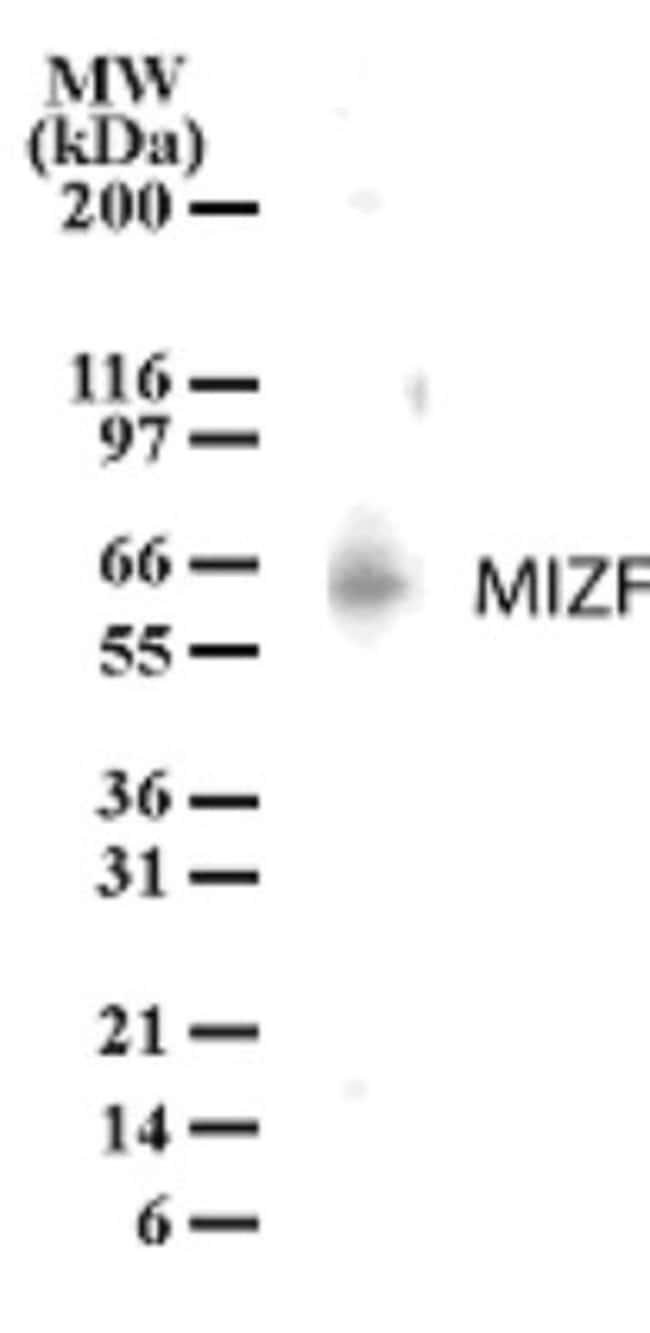 anti-HINFP, Polyclonal, Novus Biologicals:Antibodies:Primary Antibodies