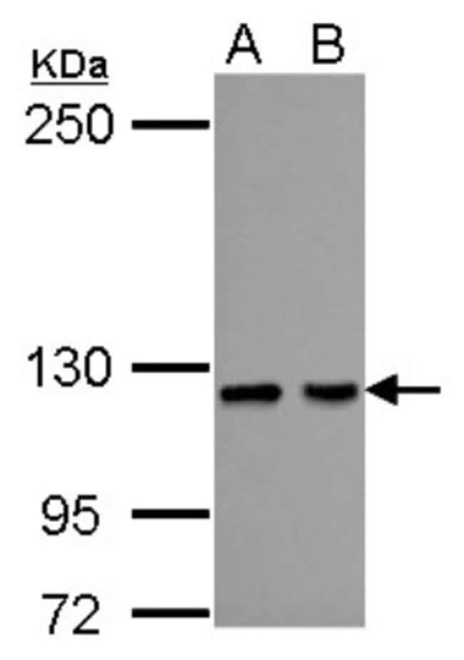anti-HIPK1, Polyclonal, Novus Biologicals 0.1mL; Unlabeled:Life Sciences