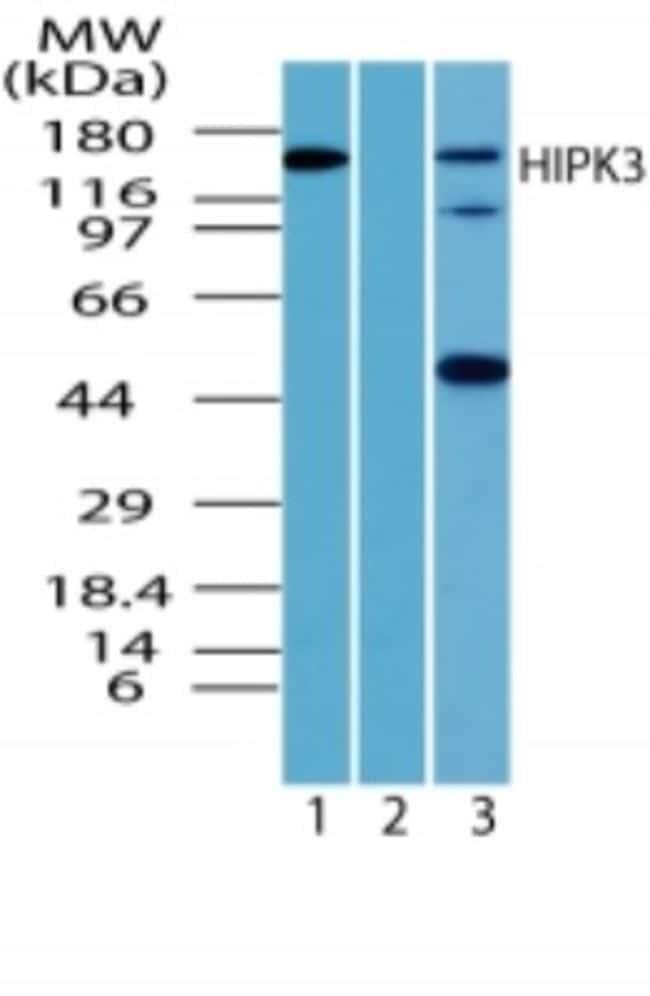 anti-HIPK3, Polyclonal, Novus Biologicals:Antibodies:Primary Antibodies