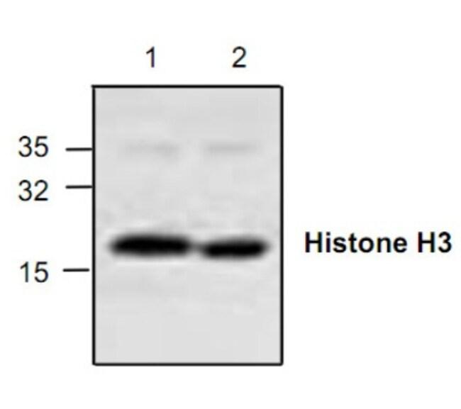 anti-HIST1H3D, Polyclonal, Novus Biologicals 0.1mg; Unlabeled:Life Sciences