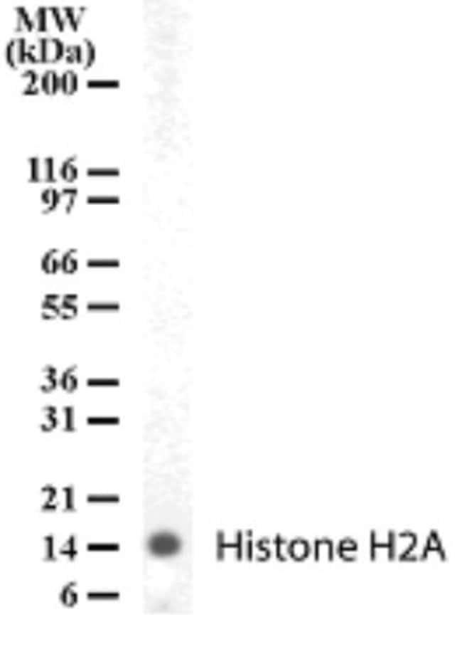 anti-Histone H2a, Polyclonal, Novus Biologicals:Antibodies:Primary Antibodies