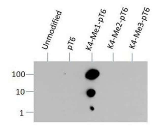 anti-Histone H3 (Monomethyl Lys4, p Thr6), Polyclonal, Novus Biologicals:Antibodies:Primary