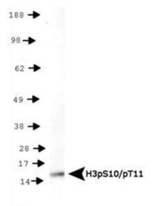 anti-Histone H3 (p Thr11, p Ser10), Polyclonal, Novus Biologicals:Antibodies:Primary