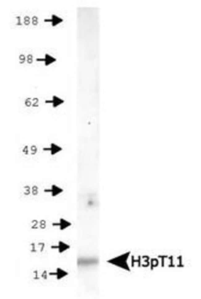 anti-Histone H3 (p Thr11), Polyclonal, Novus Biologicals:Antibodies:Primary