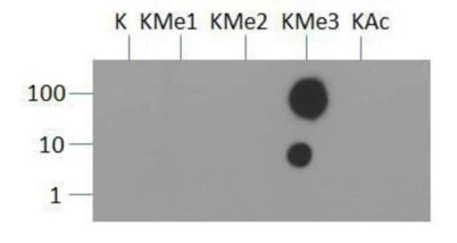 anti-Histone H3 (Trimethyl Lys36), Polyclonal, Novus Biologicals:Antibodies:Primary