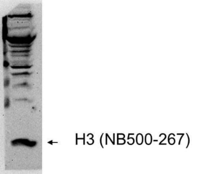 anti-Histone H3, Polyclonal, Novus Biologicals:Antibodies:Primary Antibodies
