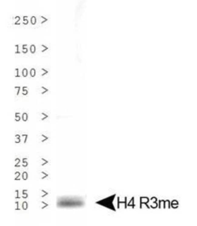 anti-Histone H4 (Monomethyl Arg3), Polyclonal, Novus Biologicals:Antibodies:Primary
