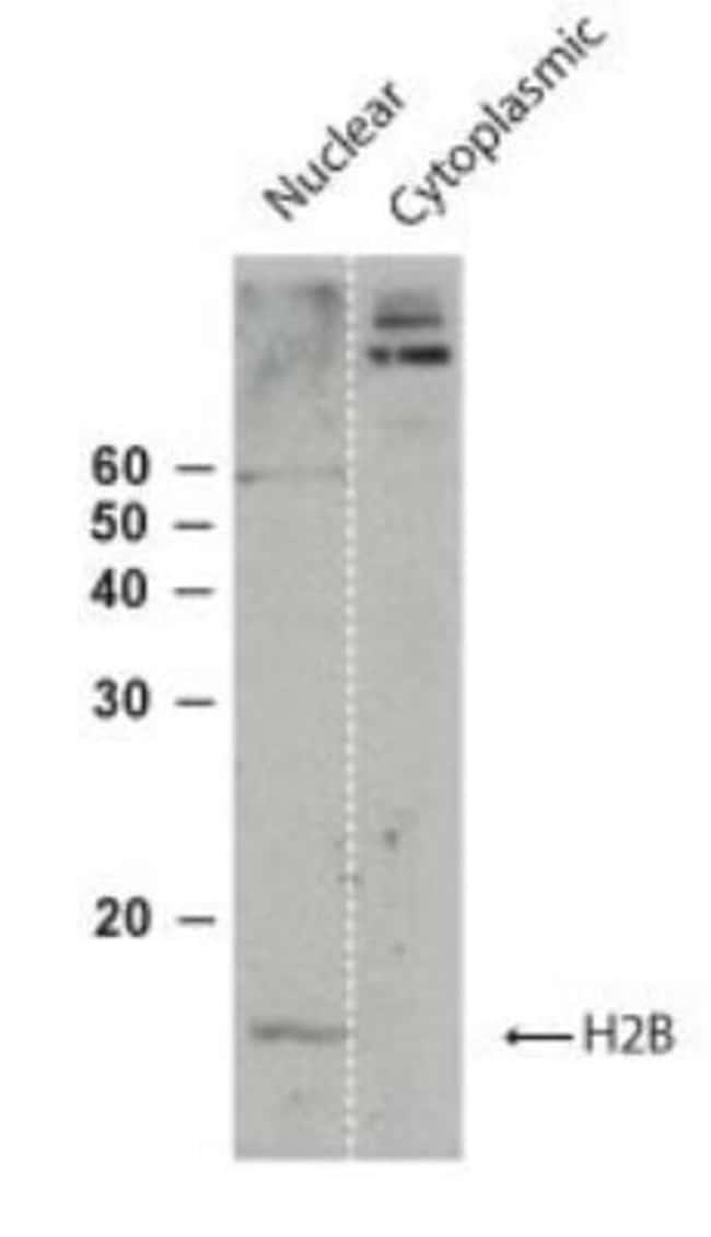 anti-Histone H2B, member S, Polyclonal, Novus Biologicals:Antibodies:Primary