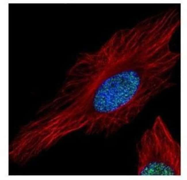 anti-Histone H3.3A, Polyclonal, Novus Biologicals 0.1mL; Unlabeled:Life
