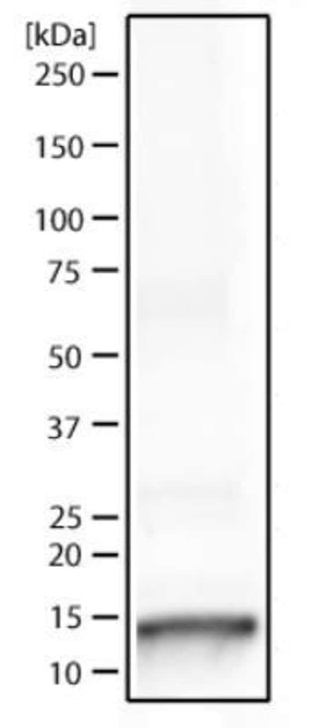 anti-Histone H3 (ac Lys9, p Ser10), Polyclonal, Novus Biologicals:Antibodies:Primary