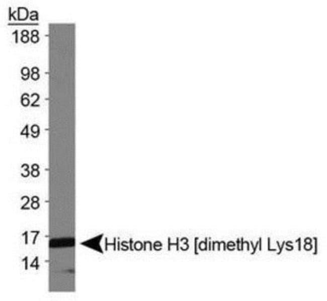 anti-Histone H3 (Dimethyl Lys18), Polyclonal, Novus Biologicals:Antibodies:Primary