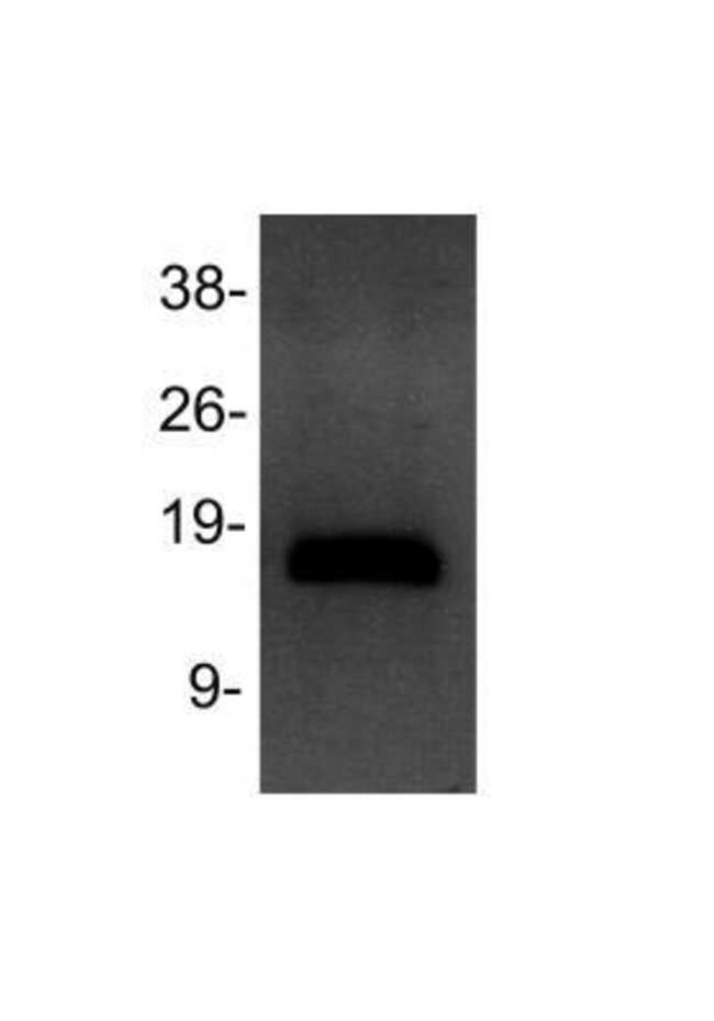 anti-Histone H3 (Dimethyl Lys4), Polyclonal, Novus Biologicals:Antibodies:Primary