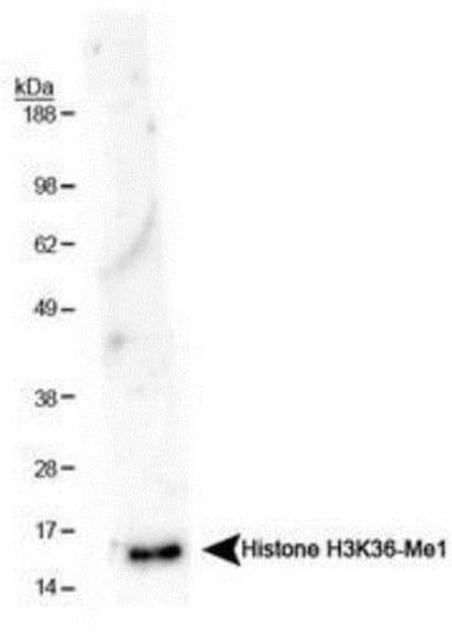 anti-Histone H3 (Monomethyl Lys36), Polyclonal, Novus Biologicals:Antibodies:Primary