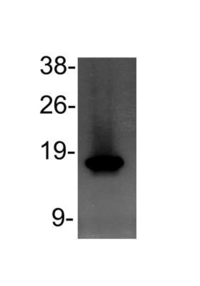 anti-Histone H3 (Monomethyl Lys4), Polyclonal, Novus Biologicals:Antibodies:Primary