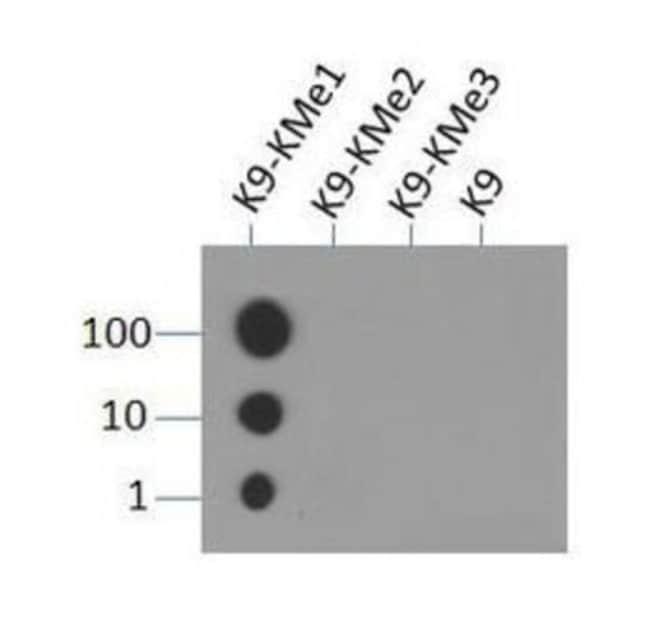 anti-Histone H3 (Monomethyl Lys9), Polyclonal, Novus Biologicals:Antibodies:Primary