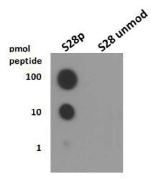 anti-Histone H3 (p Ser28), Polyclonal, Novus Biologicals:Antibodies:Primary