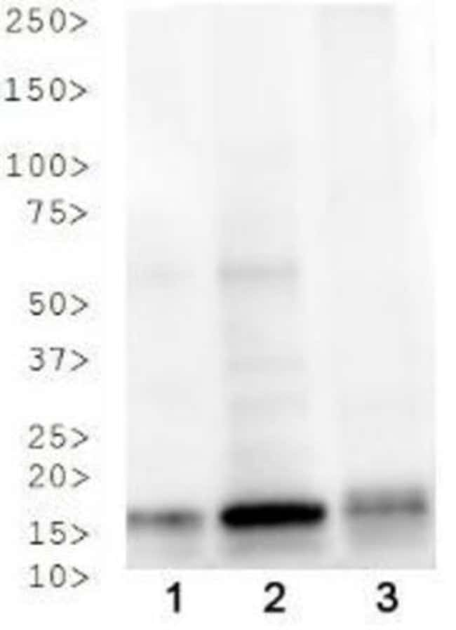 anti-Histone H3 (p Thr3, ac Lys4), Polyclonal, Novus Biologicals:Antibodies:Primary