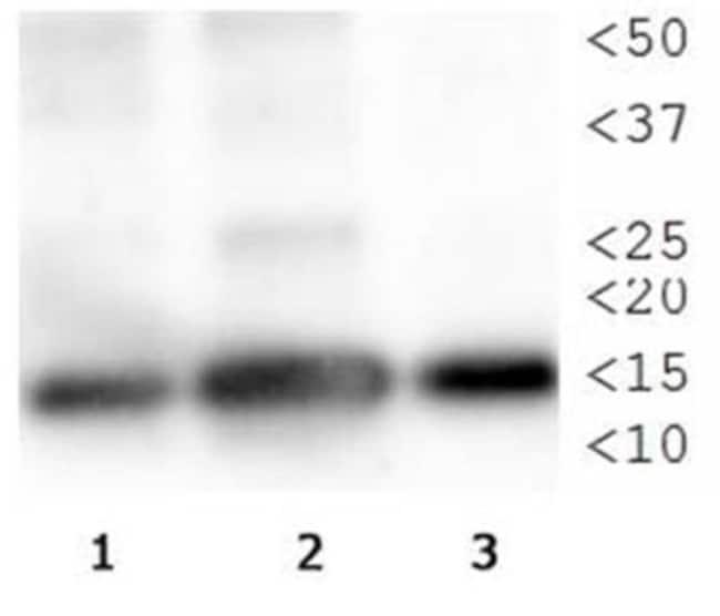 anti-Histone H3 (p Thr3, Monomethyl Lys4), Polyclonal, Novus Biologicals:Antibodies:Primary