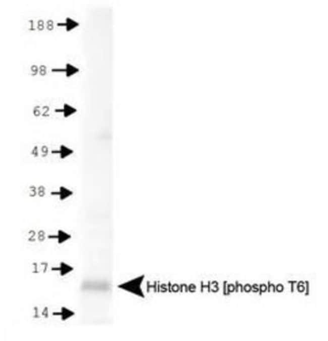 anti-Histone H3 (p Thr6), Polyclonal, Novus Biologicals:Antibodies:Primary