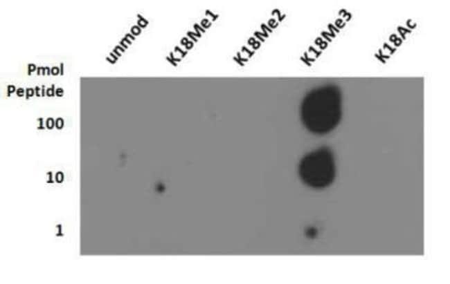 anti-Histone H3 (Trimethyl Lys18), Polyclonal, Novus Biologicals:Antibodies:Primary