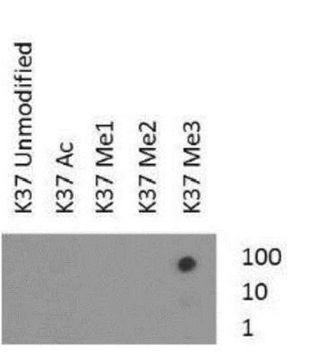 anti-Histone H3 (Trimethyl Lys37), Polyclonal, Novus Biologicals:Antibodies:Primary