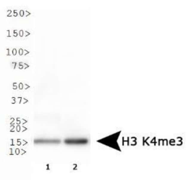 Histone H3 (Trimethyl Lys4) Rabbit anti-Human, Mouse, C. elegans, Xenopus,