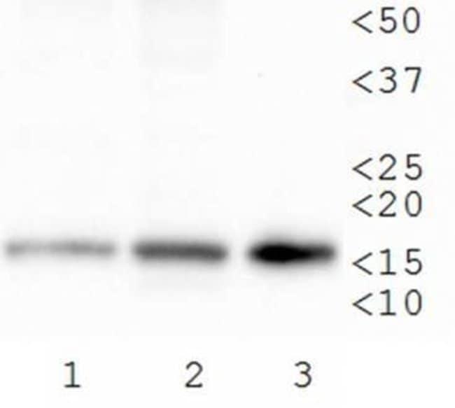 anti-Histone H3 (Trimethyl Lys79), Polyclonal, Novus Biologicals:Antibodies:Primary