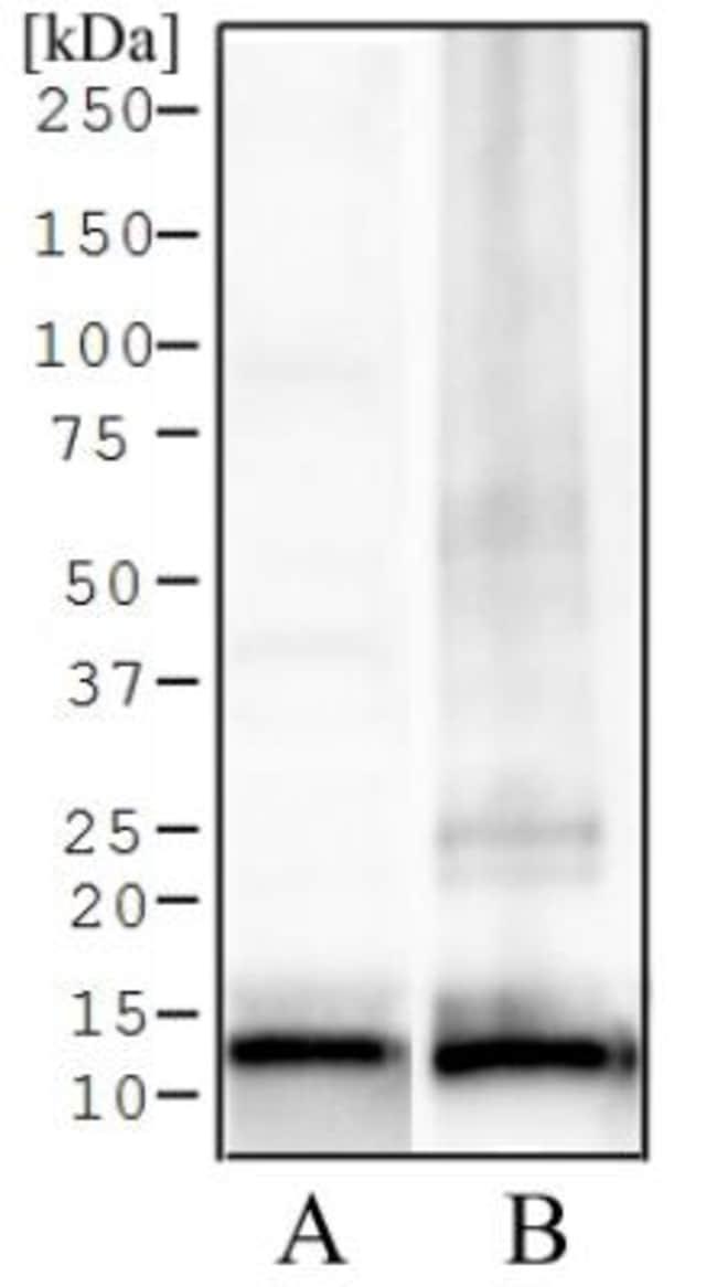anti-Histone H4 (ac Lys12), Polyclonal, Novus Biologicals:Antibodies:Primary