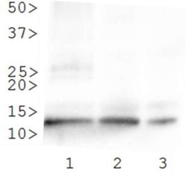 anti-Histone H4 (ac Lys8), Polyclonal, Novus Biologicals:Antibodies:Primary