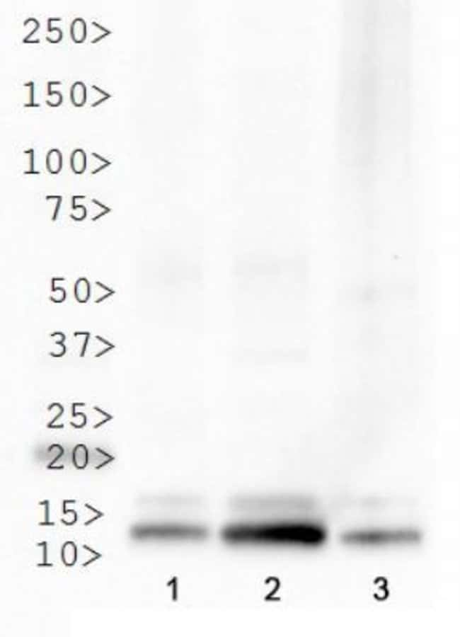 anti-Histone H4 (Trimethyl Lys20), Polyclonal, Novus Biologicals:Antibodies:Primary