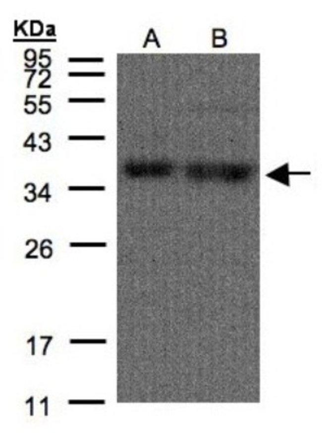 anti-hnRNP A1, Polyclonal, Novus Biologicals 0.1mL; Unlabeled:Life Sciences